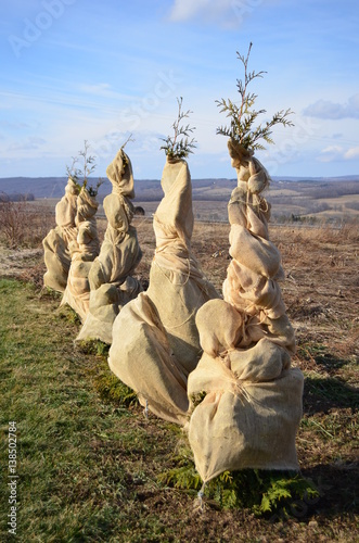 Photo Row of pine trees wrapped in burlap protective covering for the winter