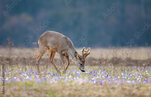Foto op Plexiglas Ree Roe deer, grazing on a field full of saffron