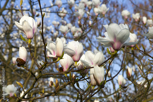 Photo  Magnolia 'Leonard Messel', white flower and bud opening on a tree