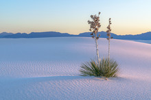 White Sands Yucca Sunset