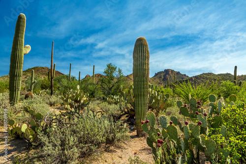 Papiers peints Cactus Saguaro National Park
