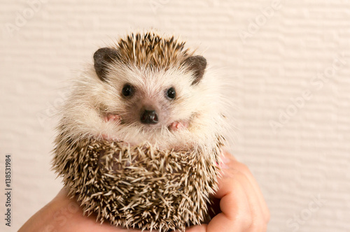 Photo  Hedgehog / From Japan