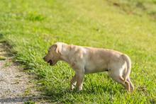 A Labrador Puppy Is Caught Hal...