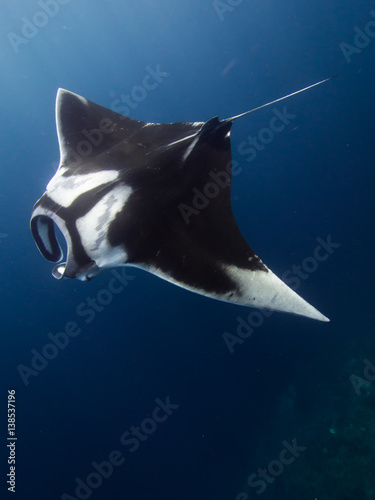 Fotografia Giant Manta ray with scars on its back from a fishing line that was caught around its right pectoral fin