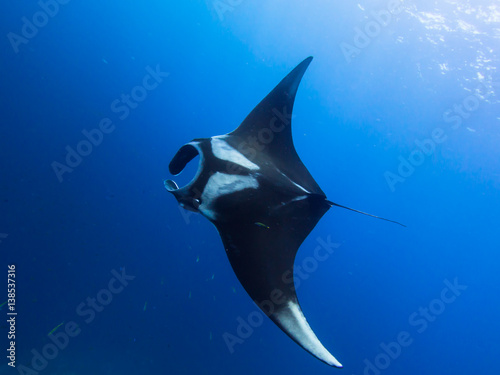 Fototapeta Giant Manta ray swimming in the blue with sun rays beaming down from above