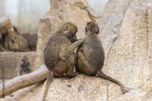 Fotografie, Obraz  Two Yellow baboons, Papio cynocephalus, delousing each other in a zoo