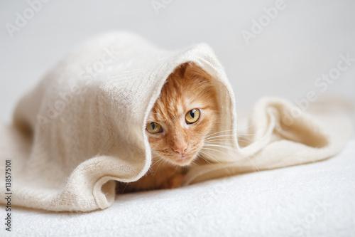 Foto  Orange fluffy cat sitting sitting under beige knitted blanket.
