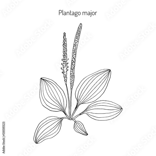 Plantain. Plantago major, medicinal plant Fototapet