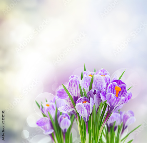 Fototapeta Violet crocus flowers on gray spring bokeh background obraz na płótnie