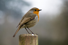 European Robin On Fence Posts ...