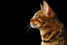 Portrait Of Young Bengal Cat I...