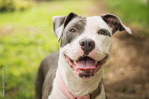 Happy Pittie