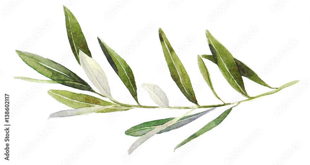 Fototapety, obrazy: Watercolor olive branch on white background. Hand drawn watercolor illustration, painting the olive tree.