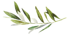 Watercolor Olive Branch On Whi...