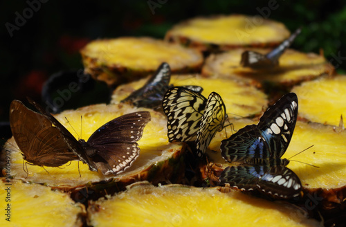 Photo  Butterflies eating pineapple at the Butterfly Garden at the Singapore Airport