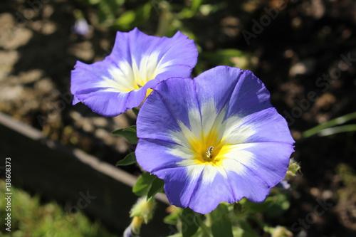 Blue white and yellow dwarf morning glory flower or bush morning blue white and yellow dwarf morning glory flower or bush morning glory mightylinksfo