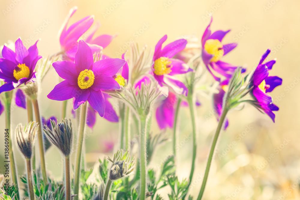 Fototapeta Wiosenne fioletowe kwiaty - obraz na płótnie