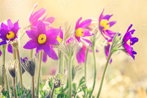 Obraz Spring purple flowers background  - fototapety do salonu