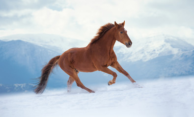Red horse runs on snow on mountains background