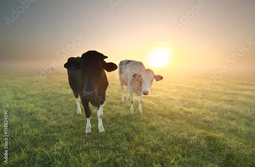 Aluminium Prints Cow cows on pasture at sunrise
