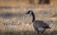 Closeup Of A Canada Goose  In ...