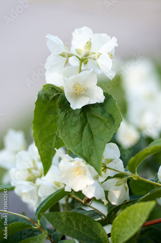 Staande foto Lelietje van dalen Flowering jasmine background with open white flowers and green leaves.Closeup of White Jasmine Flowers/Beautiful white jasmine flowers.Spring background