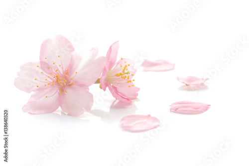 Japanese cherry blossom and petals #2