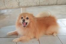 Pomeranian Dog On The Floor. A...