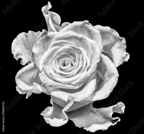 Fototapeta na wymiar Monochrome macro portrait of an isolated single white Rose blossom on black background - surreal, floral fantasy, fantastic realism, love, joy, happy, innocence