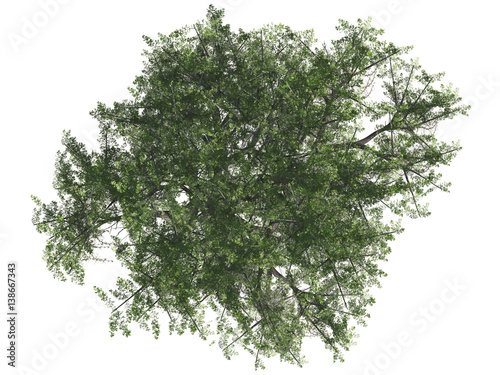 Poster Kaki Green tree isolated on white background, top view, 3 d render