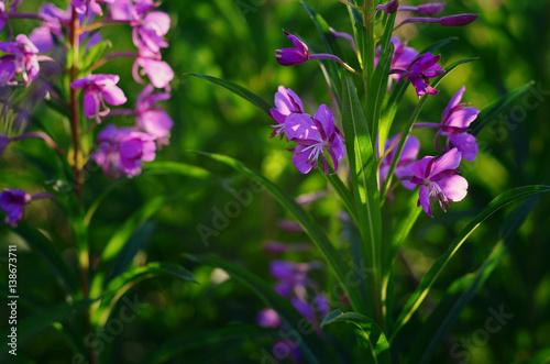 Photo  Willow-herb (Epilobium angustifolium) blossom in the meadow