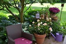 Rose Auf Der Terrasse 4