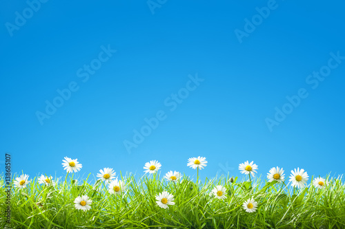 In de dag Madeliefjes Border of Sweet Daisies in Green Grass with Clear Blue Sky