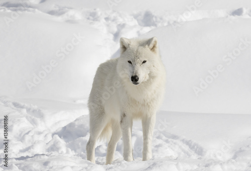 A lone arctic wolf (Canis lupus arctos) isolated on a white background in the winter snow in Canada