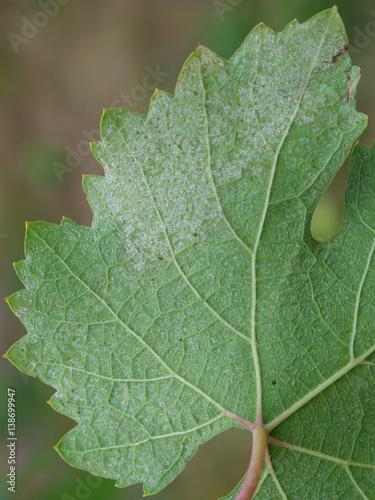 Sick grape leaf closeup Canvas-taulu