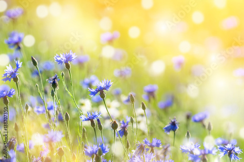 Tuinposter Zwavel geel Summer landscape with wildflowers cornflowers in the rays of the sun