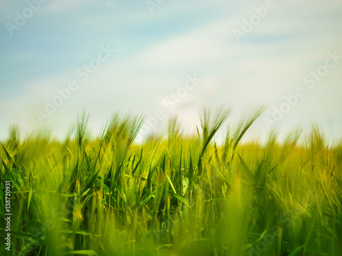 Fotobehang Zwavel geel Wheat Field Waves Moved by Summer Wind Nature