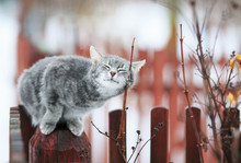 Tabby Cat Fondled On A Branch In Spring On A Fence In The Village