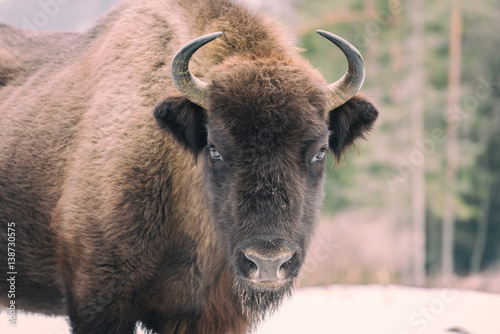 Fototapeta  Portrait of aurochs (european bison) in wildlife