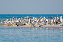 White Pelicans Resting On The ...