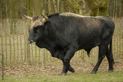 Fototapeta  Aurochs animal Bos primigenius