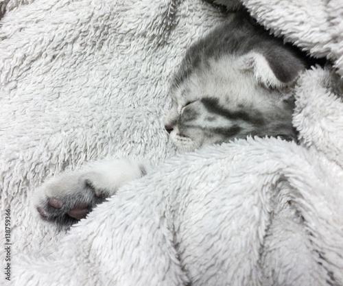 Foto op Canvas Schapen Sleeping scottish fold cat
