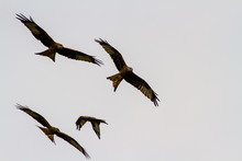Four Red Kites Or Milvus Milvus