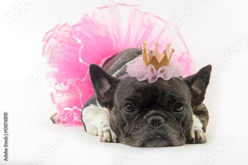 Foto op Plexiglas Franse bulldog french bulldog ballerina on white background