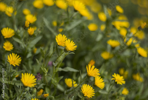 Flores Silvestres Margaritas Amarillas Buy This Stock Photo And