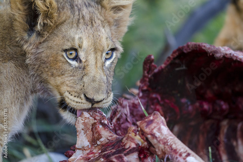 Staande foto Buffel Lion (Panthera leo) cubs feeding on a carcass. Northern Cape. South Africa.