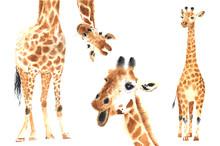 Set Of Watercolor Giraffes
