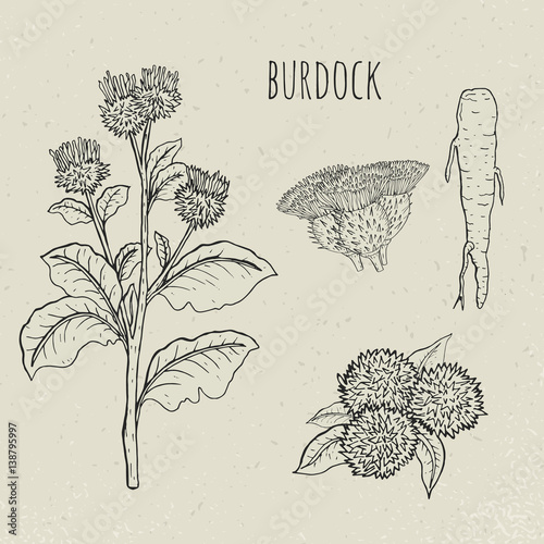 Burdock medical botanical isolated illustration Tapéta, Fotótapéta