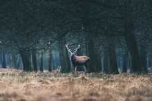 Red Deer Stag Standing In Field At Edge Of Forest.