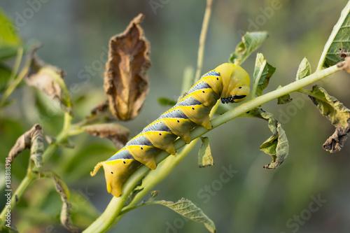Photo Acherontia Atropos Caterpillar